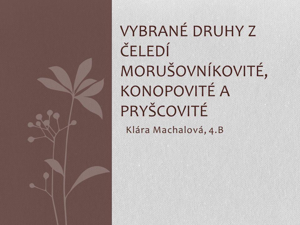 Klára Machalová, 4.B VYBRANÉ DRUHY Z ČELEDÍ MORUŠOVNÍKOVITÉ, KONOPOVITÉ A PRYŠCOVITÉ