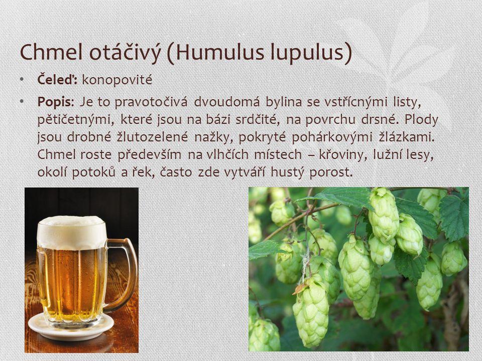 Chmel otáčivý (Humulus lupulus) Čeleď: konopovité Popis: Je to pravotočivá dvoudomá bylina se vstřícnými listy, pětičetnými, které jsou na bázi srdčit