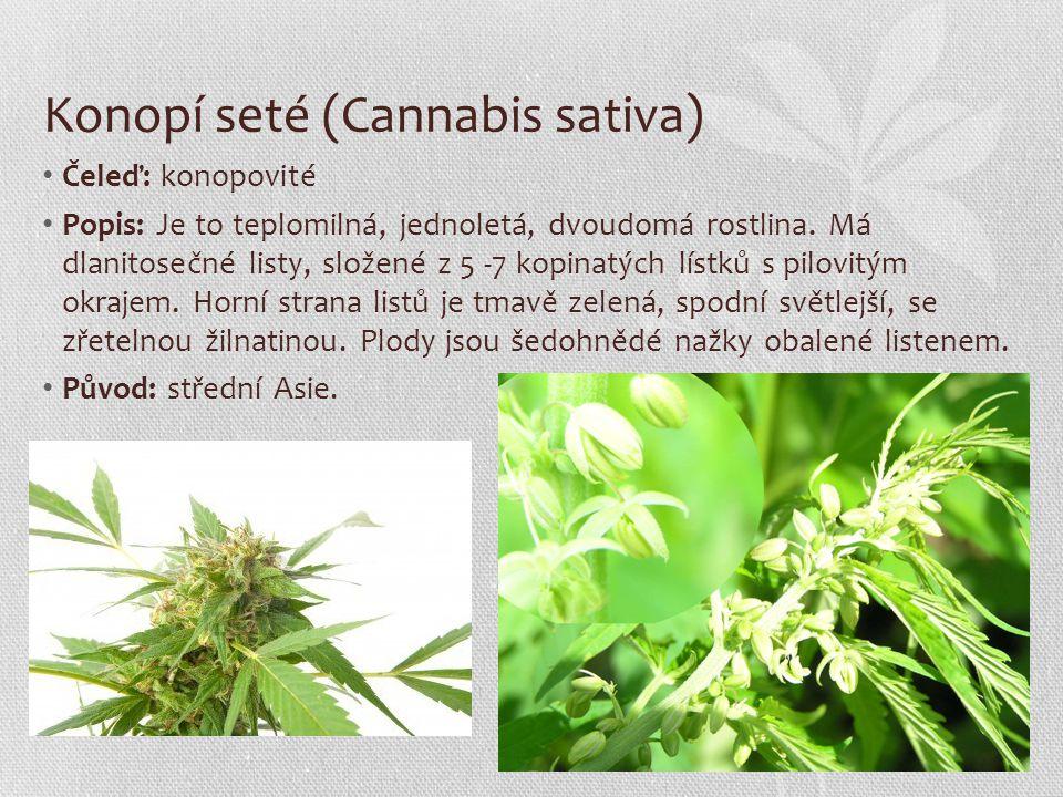 Konopí seté (Cannabis sativa) Čeleď: konopovité Popis: Je to teplomilná, jednoletá, dvoudomá rostlina. Má dlanitosečné listy, složené z 5 -7 kopinatýc