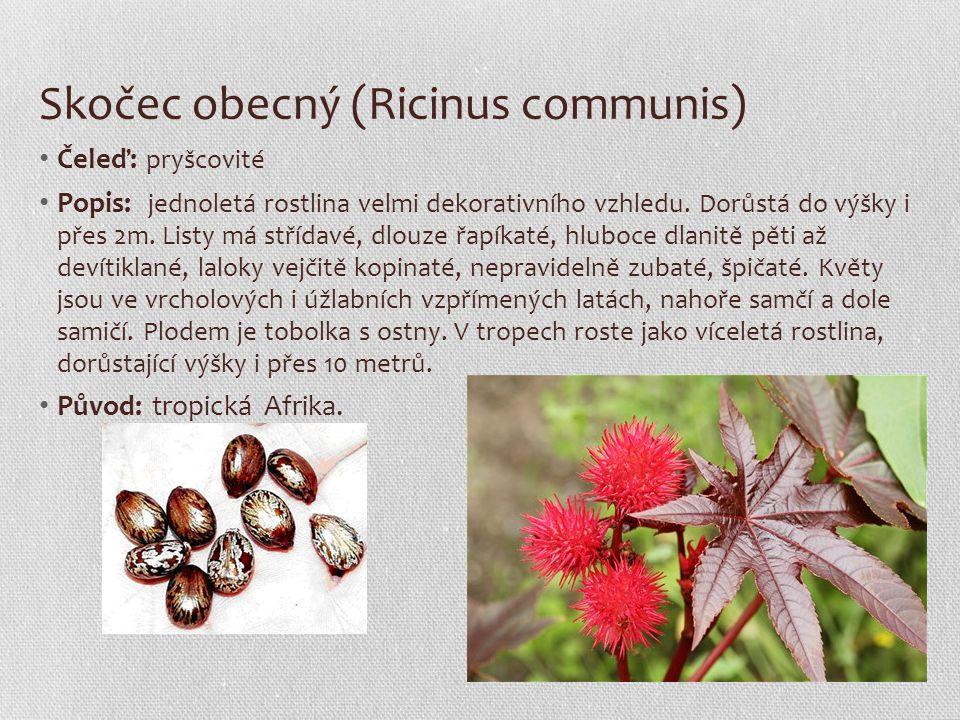 Skočec obecný (Ricinus communis) Čeleď: pryšcovité Popis: jednoletá rostlina velmi dekorativního vzhledu. Dorůstá do výšky i přes 2m. Listy má střídav