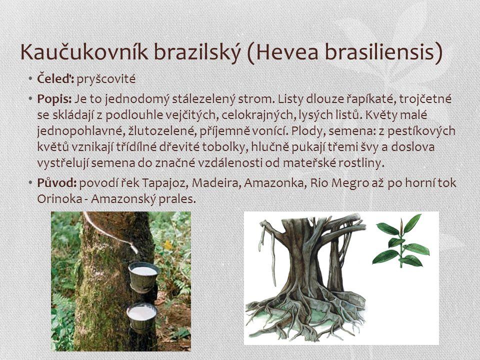 Kaučukovník brazilský (Hevea brasiliensis) Čeleď: pryšcovité Popis: Je to jednodomý stálezelený strom. Listy dlouze řapíkaté, trojčetné se skládají z