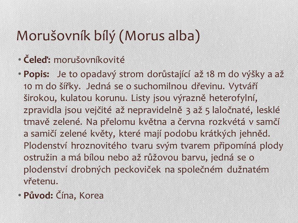 Morušovník bílý (Morus alba) Čeleď: morušovníkovité Popis: Je to opadavý strom dorůstající až 18 m do výšky a až 10 m do šířky. Jedná se o suchomilnou