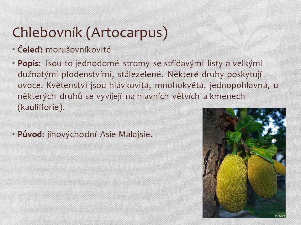 Chlebovník (Artocarpus) Čeleď: morušovníkovité Popis: Jsou to jednodomé stromy se střídavými listy a velkými dužnatými plodenstvími, stálezelené. Někt