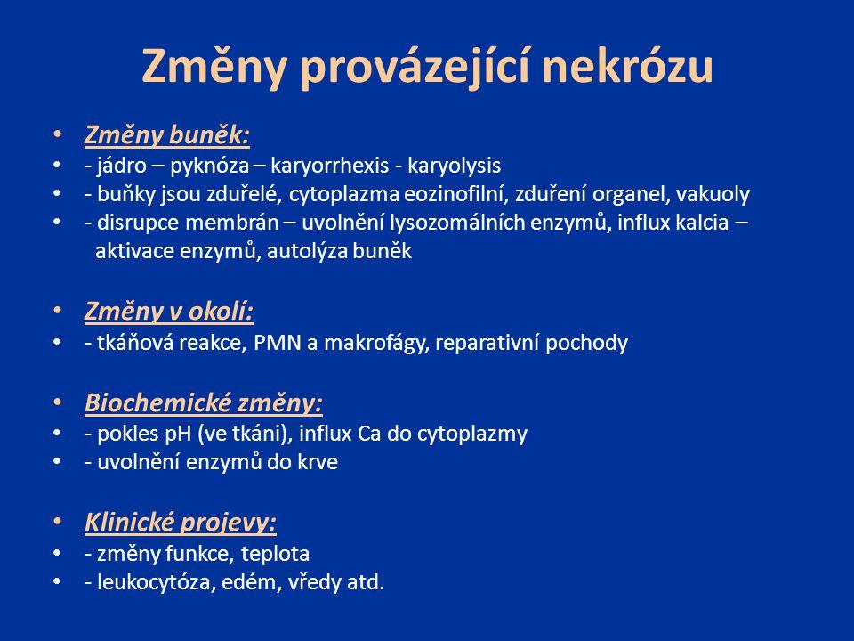 Změny provázející nekrózu Změny buněk: - jádro – pyknóza – karyorrhexis - karyolysis - buňky jsou zduřelé, cytoplazma eozinofilní, zduření organel, va