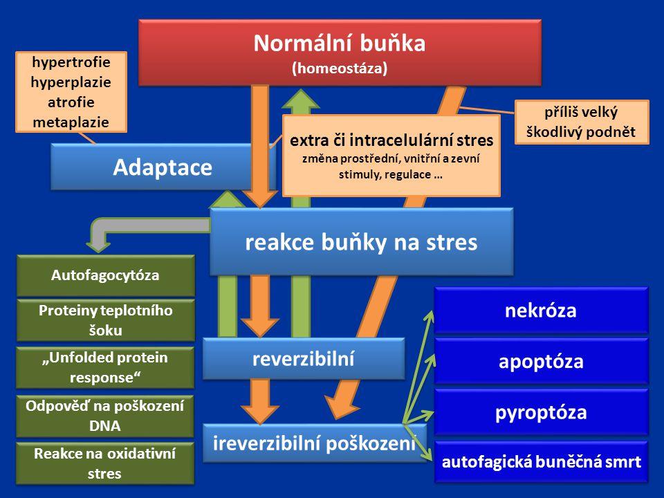 Normální buňka (homeostáza) Normální buňka (homeostáza) Adaptace extra či intracelulární stres změna prostřední, vnitřní a zevní stimuly, regulace … h