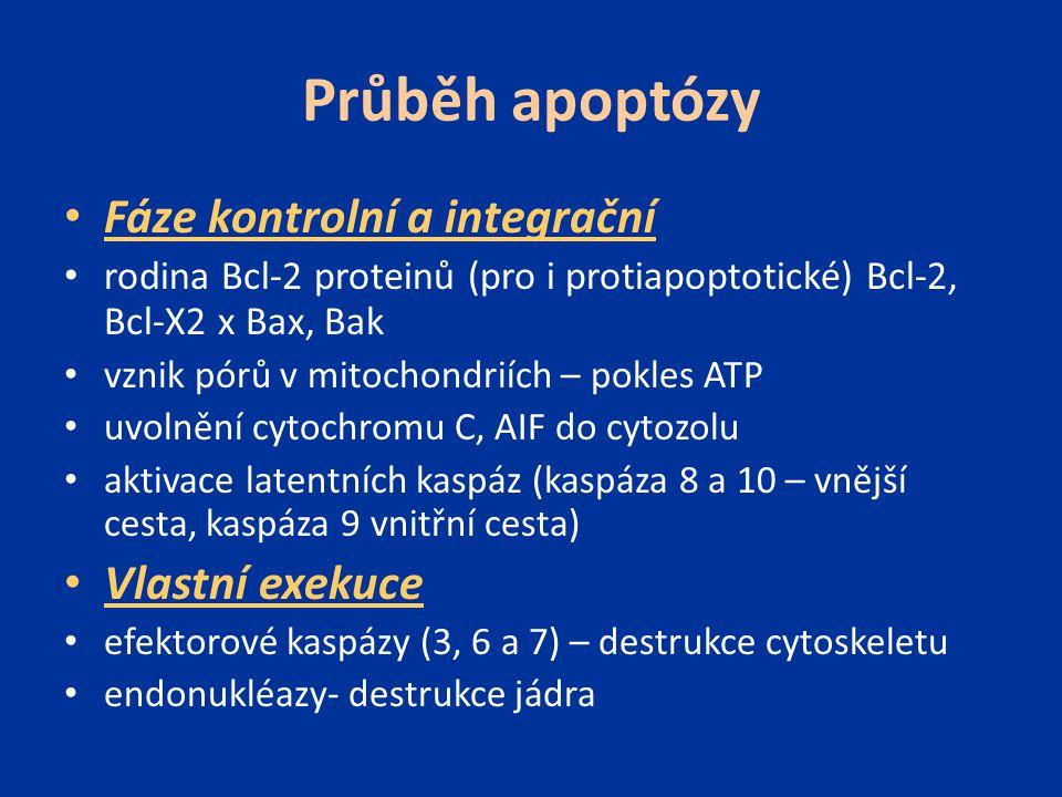 Průběh apoptózy Fáze kontrolní a integrační rodina Bcl-2 proteinů (pro i protiapoptotické) Bcl-2, Bcl-X2 x Bax, Bak vznik pórů v mitochondriích – pokl