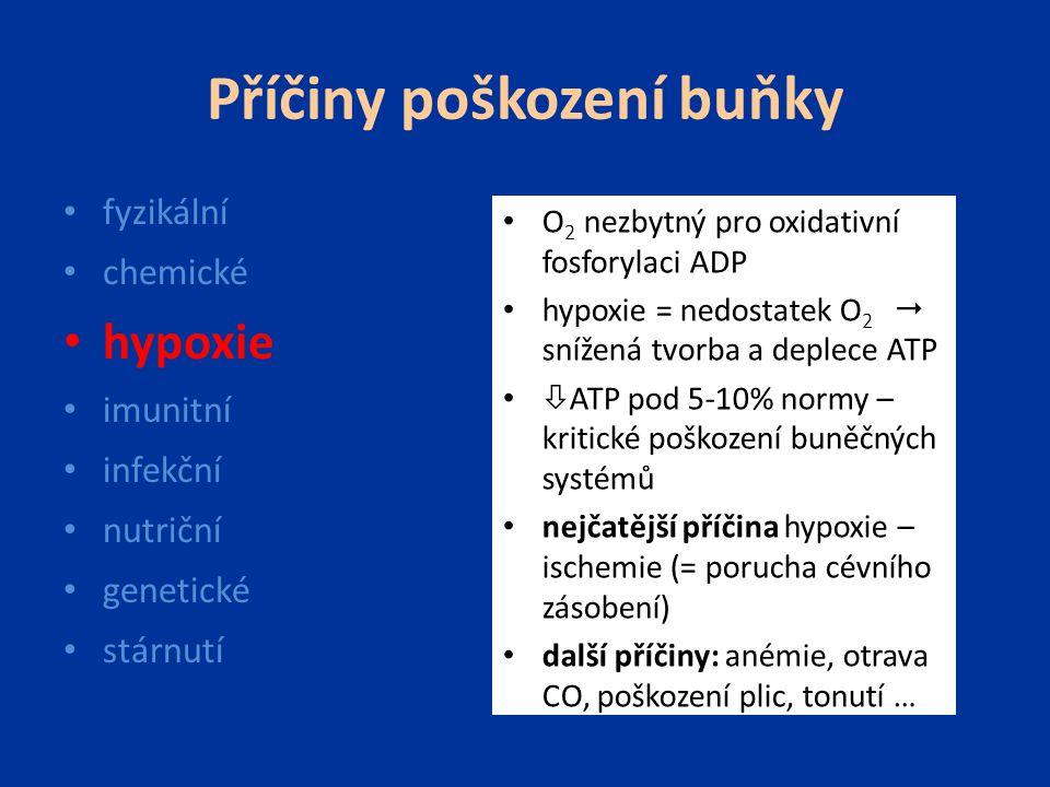 Příčiny poškození buňky fyzikální chemické hypoxie imunitní infekční nutriční genetické stárnutí O 2 nezbytný pro oxidativní fosforylaci ADP hypoxie =