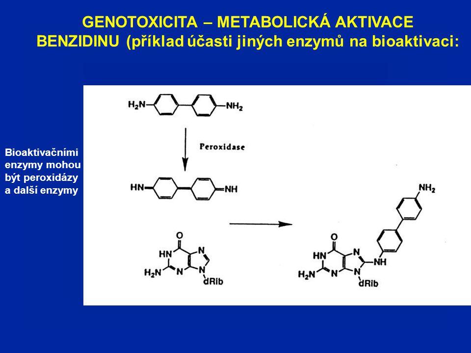 GENOTOXICITA – METABOLICKÁ AKTIVACE BENZIDINU (příklad účasti jiných enzymů na bioaktivaci: Bioaktivačními enzymy mohou být peroxidázy a další enzymy