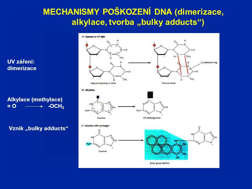 """MECHANISMY POŠKOZENÍ DNA (dimerizace, alkylace, tvorba """"bulky adducts ) Alkylace (methylace) = O -OCH 3 Vznik """"bulky adducts UV záření: dimerizace"""