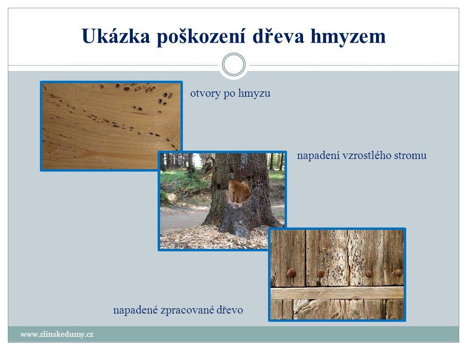 Ukázka poškození dřeva hmyzem www.zlinskedumy.cz napadení vzrostlého stromu otvory po hmyzu napadené zpracované dřevo