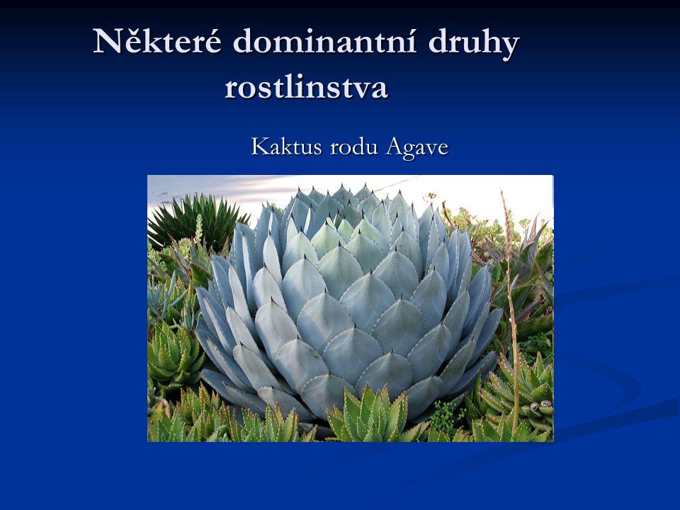 Některé dominantní druhy rostlinstva Kaktus rodu Agave