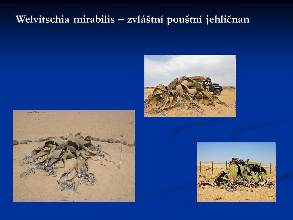Welvitschia mirabilis – zvláštní pouštní jehličnan