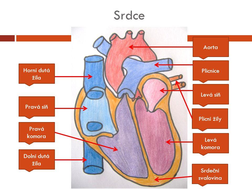 Srdce Aorta Plicnice Levá síň Levá komora Srdeční svalovina Pravá komora Dolní dutá žíla Pravá síň Horní dutá žíla Plicní žíly