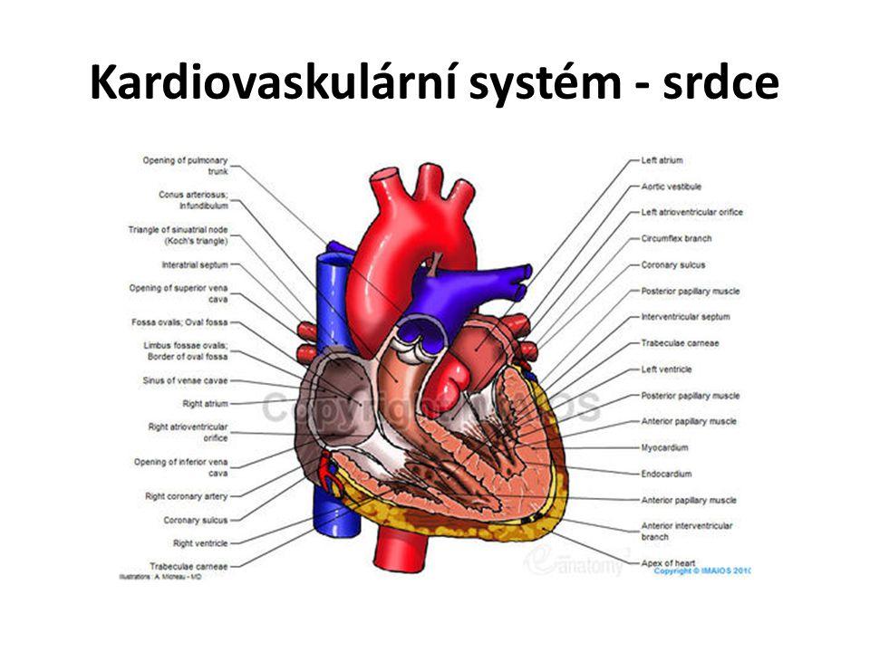 Kardiovaskulární systém - srdce