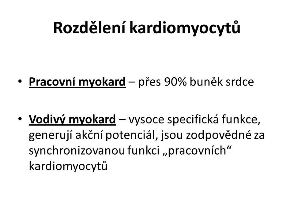 Rozdělení kardiomyocytů Pracovní myokard – přes 90% buněk srdce Vodivý myokard – vysoce specifická funkce, generují akční potenciál, jsou zodpovědné z