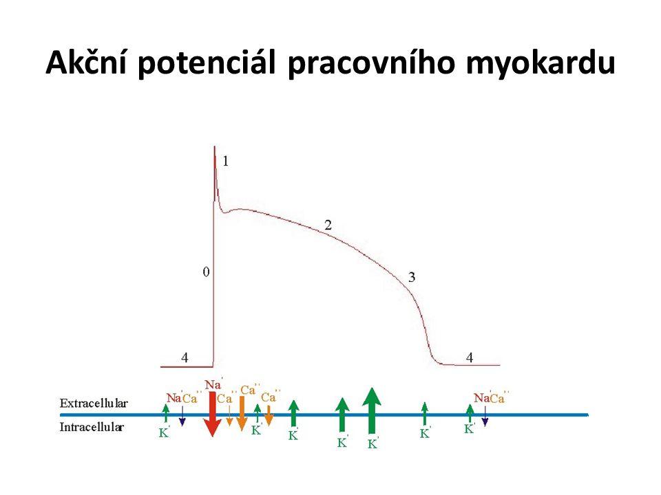 """Akční potenciál ve vodivém myokardu (SA uzel) i f – """"funny current , Na + - channels i Ca(T) – """"transient Ca 2+ channels i Ca(L) – """"long lasting Ca 2+ channels"""
