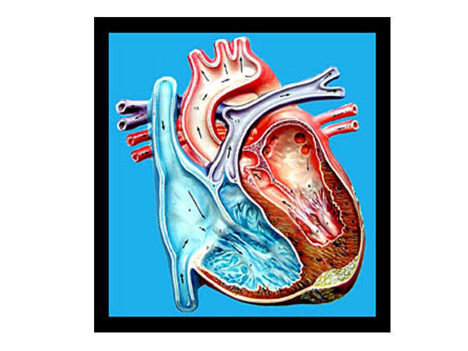 Mechanické děje během srdečního cyklu.