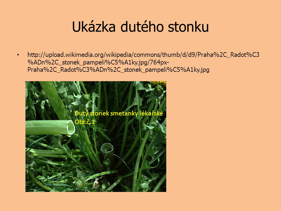 Ukázka dutého stonku http://upload.wikimedia.org/wikipedia/commons/thumb/d/d9/Praha%2C_Radot%C3 %ADn%2C_stonek_pampeli%C5%A1ky.jpg/764px- Praha%2C_Rad