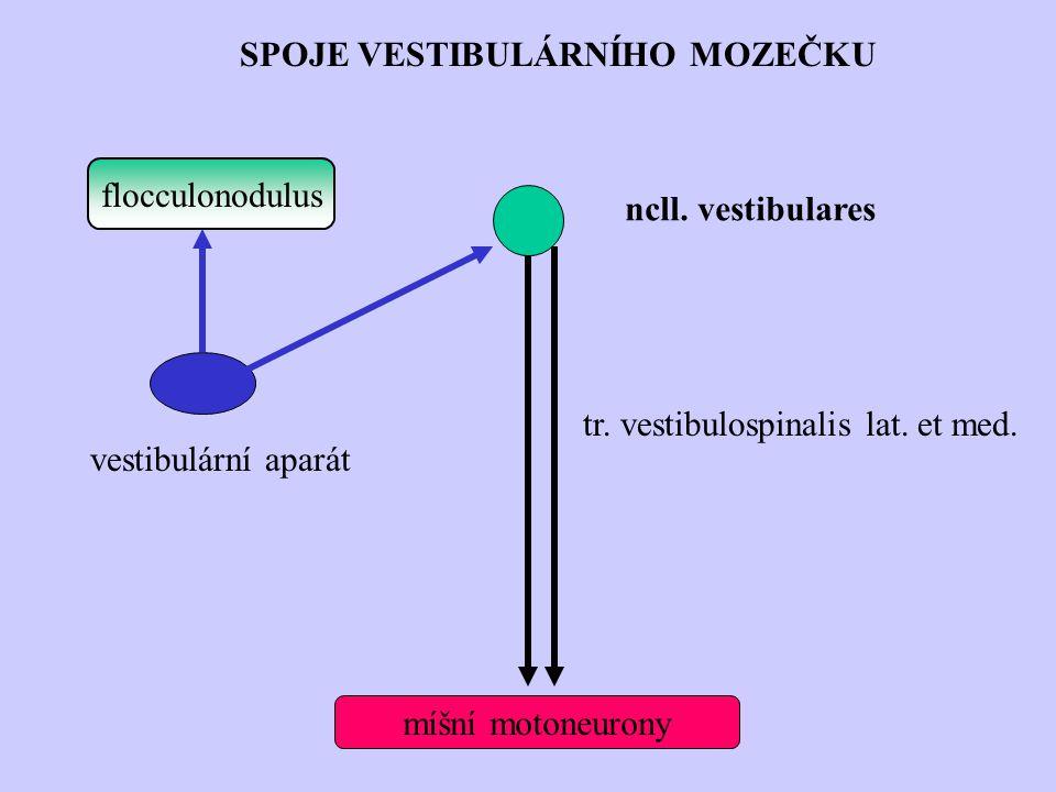 flocculonodulus míšní motoneurony SPOJE VESTIBULÁRNÍHO MOZEČKU ncll. vestibulares vestibulární aparát tr. vestibulospinalis lat. et med.