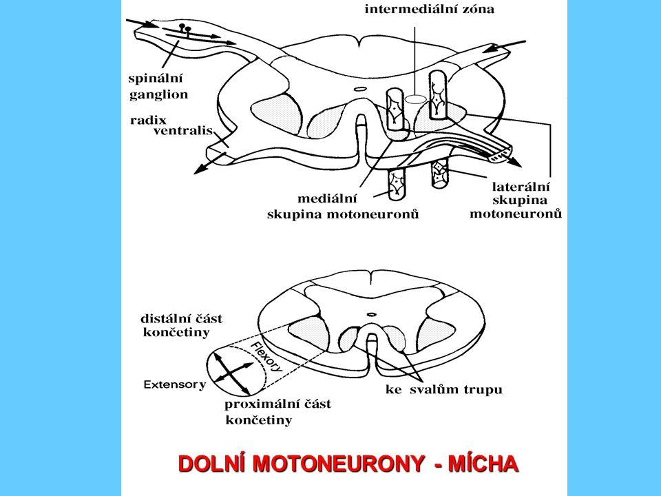 DOLNÍ MOTONEURONY - KMEN somatomotorická zóna - ncl.