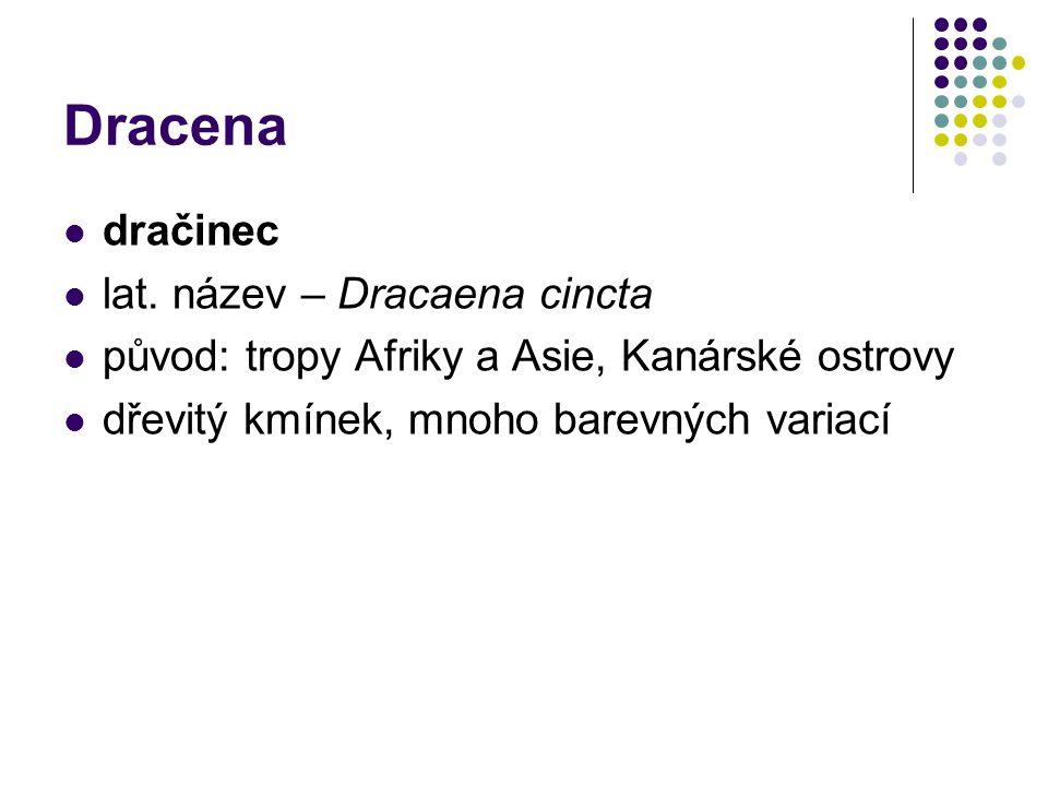 Dracena dračinec lat. název – Dracaena cincta původ: tropy Afriky a Asie, Kanárské ostrovy dřevitý kmínek, mnoho barevných variací