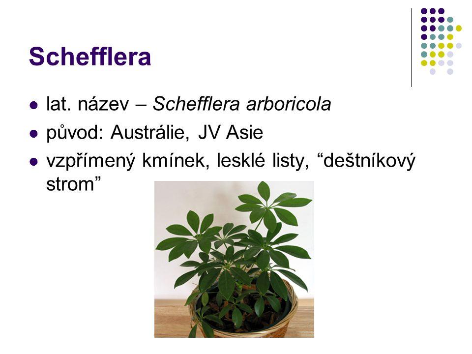 """Schefflera lat. název – Schefflera arboricola původ: Austrálie, JV Asie vzpřímený kmínek, lesklé listy, """"deštníkový strom"""""""