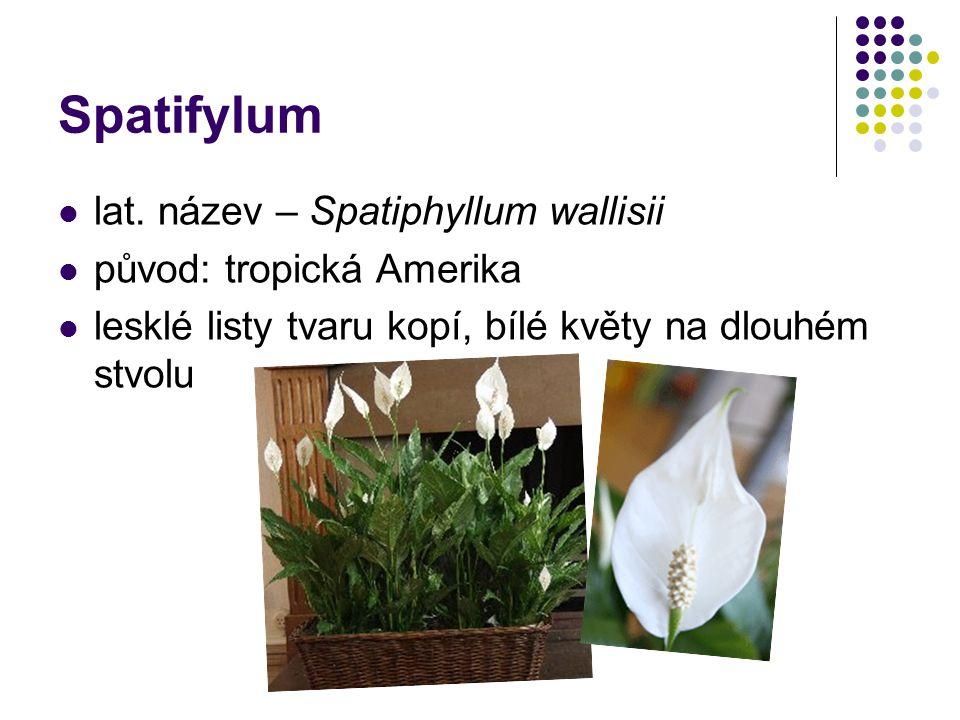 Spatifylum lat. název – Spatiphyllum wallisii původ: tropická Amerika lesklé listy tvaru kopí, bílé květy na dlouhém stvolu