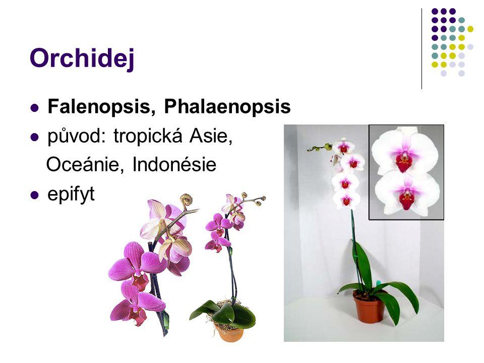 Orchidej Falenopsis, Phalaenopsis původ: tropická Asie, Oceánie, Indonésie epifyt