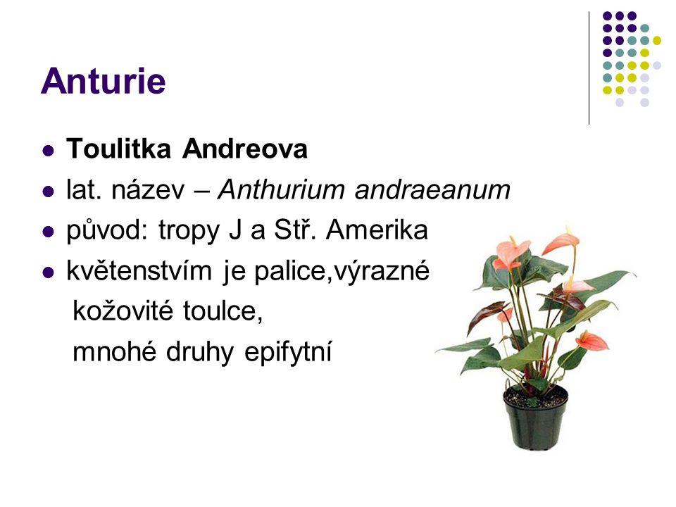 Anturie Toulitka Andreova lat. název – Anthurium andraeanum původ: tropy J a Stř. Amerika květenstvím je palice,výrazné kožovité toulce, mnohé druhy e