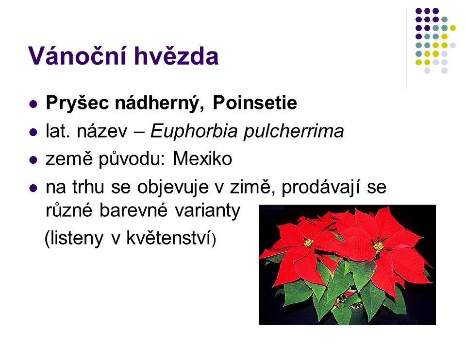 Vánoční hvězda Pryšec nádherný, Poinsetie lat. název – Euphorbia pulcherrima země původu: Mexiko na trhu se objevuje v zimě, prodávají se různé barevn