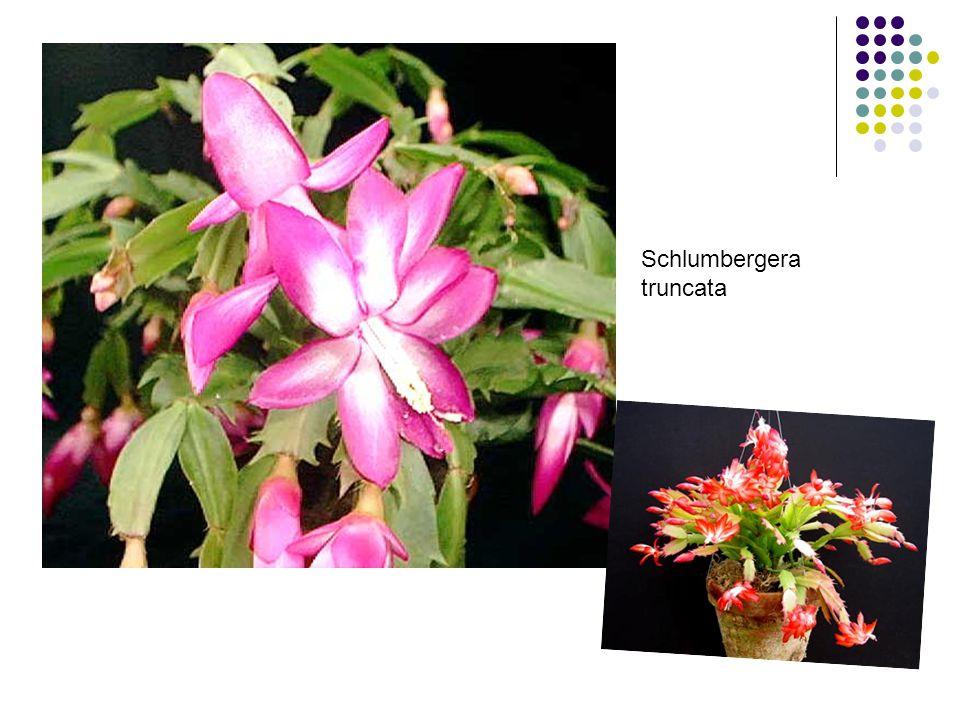 Anturie Toulitka Andreova lat.název – Anthurium andraeanum původ: tropy J a Stř.