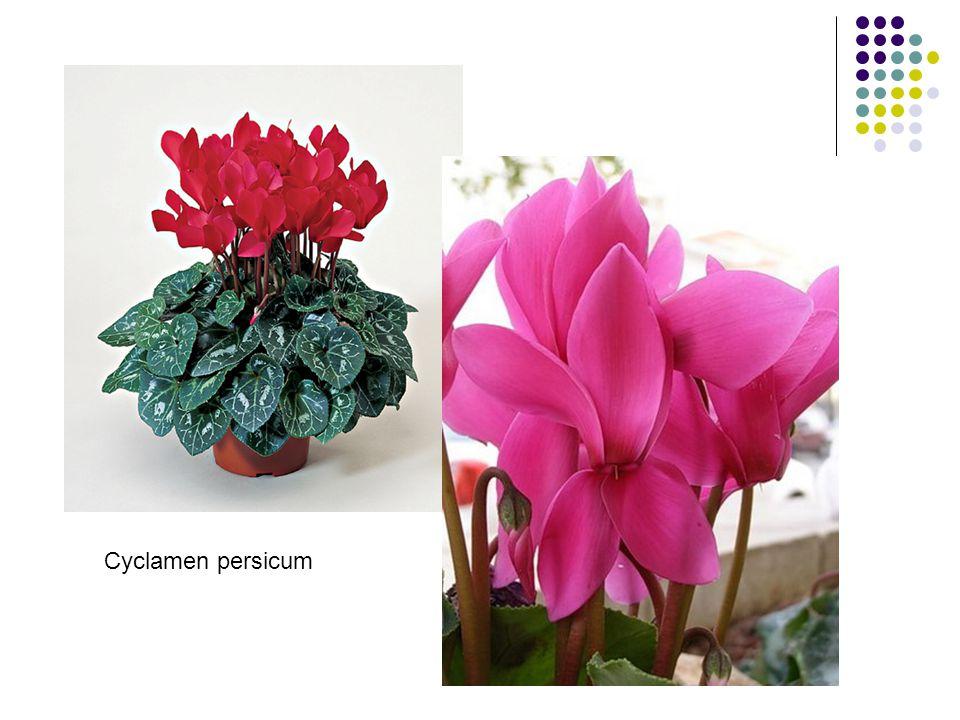 Azalka Azalka indická lat.název – Rhododendron indicum místo původu: Čína, Japonsko dřevitý stonek, lesklé listy, jako bonsaje