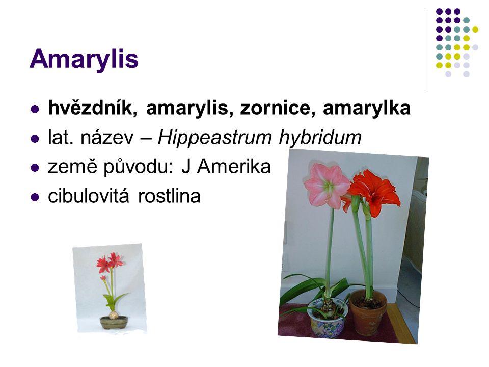 Amarylis hvězdník, amarylis, zornice, amarylka lat. název – Hippeastrum hybridum země původu: J Amerika cibulovitá rostlina