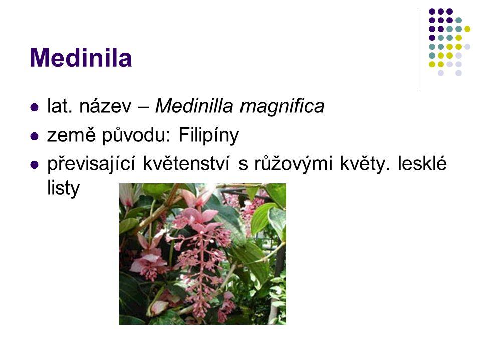 Medinila lat. název – Medinilla magnifica země původu: Filipíny převisající květenství s růžovými květy. lesklé listy