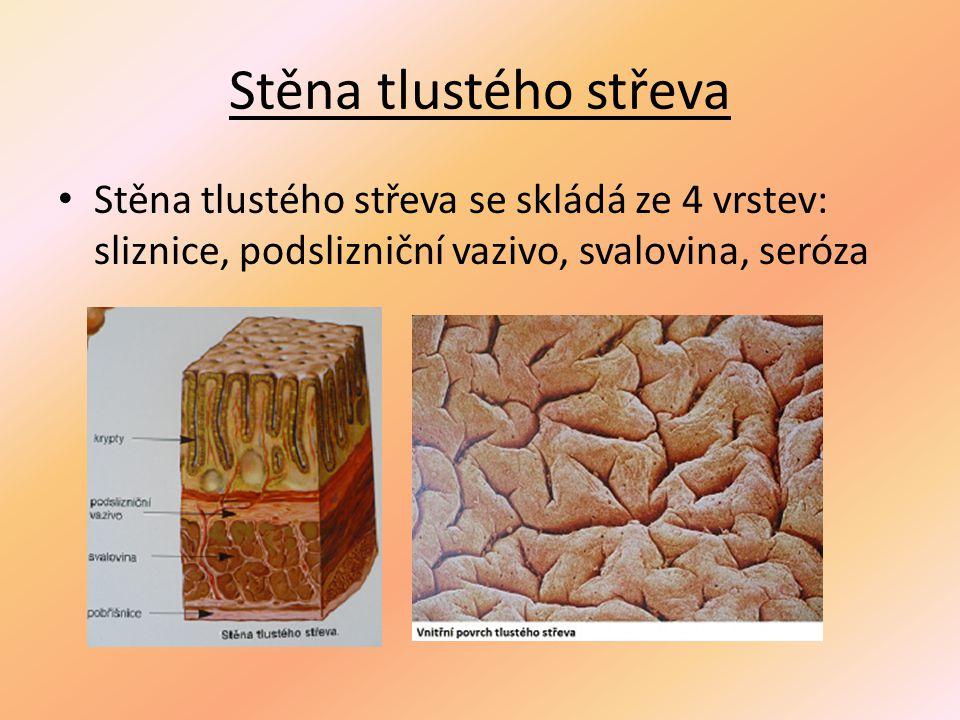 Stěna tlustého střeva Stěna tlustého střeva se skládá ze 4 vrstev: sliznice, podslizniční vazivo, svalovina, seróza