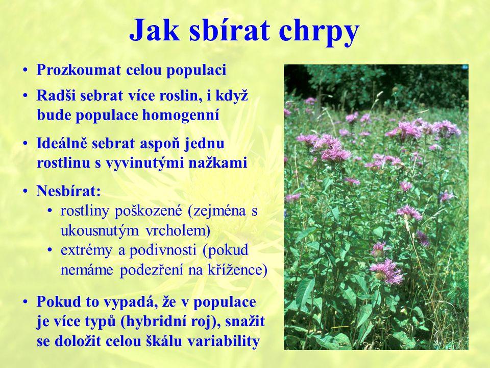Jak sbírat chrpy Prozkoumat celou populaci Radši sebrat více roslin, i když bude populace homogenní Nesbírat: rostliny poškozené (zejména s ukousnutým vrcholem) extrémy a podivnosti (pokud nemáme podezření na křížence) Pokud to vypadá, že v populace je více typů (hybridní roj), snažit se doložit celou škálu variability Ideálně sebrat aspoň jednu rostlinu s vyvinutými nažkami