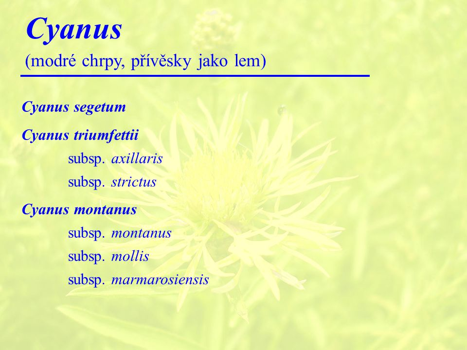 Cyanus (modré chrpy, přívěsky jako lem) Cyanus segetum Cyanus triumfettii subsp.