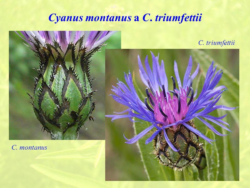 Cyanus montanus a C. triumfettii C. triumfettii C. montanus