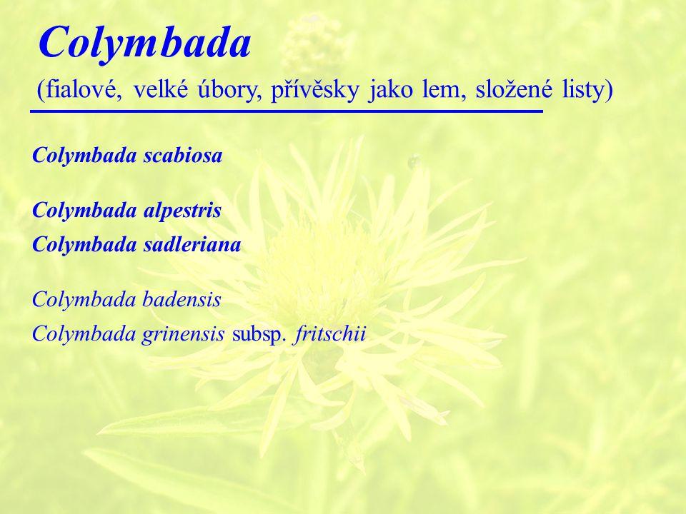 Colymbada (fialové, velké úbory, přívěsky jako lem, složené listy) Colymbada scabiosa Colymbada alpestris Colymbada sadleriana Colymbada badensis Colymbada grinensis subsp.