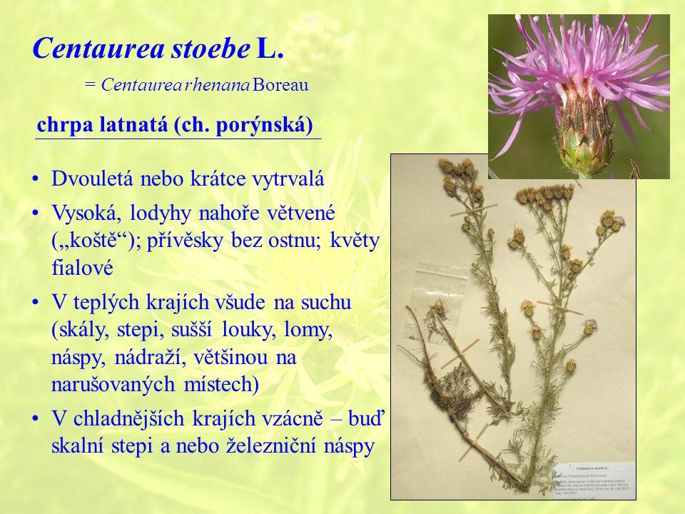 Centaurea stoebe L.= Centaurea rhenana Boreau chrpa latnatá (ch.