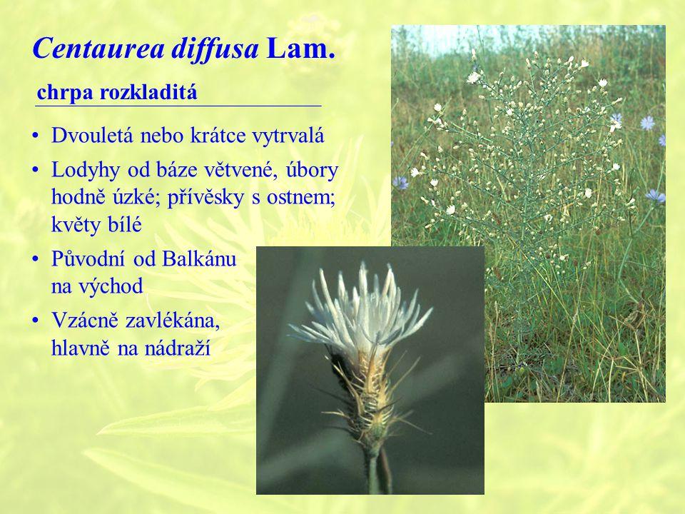 Centaurea diffusa Lam.
