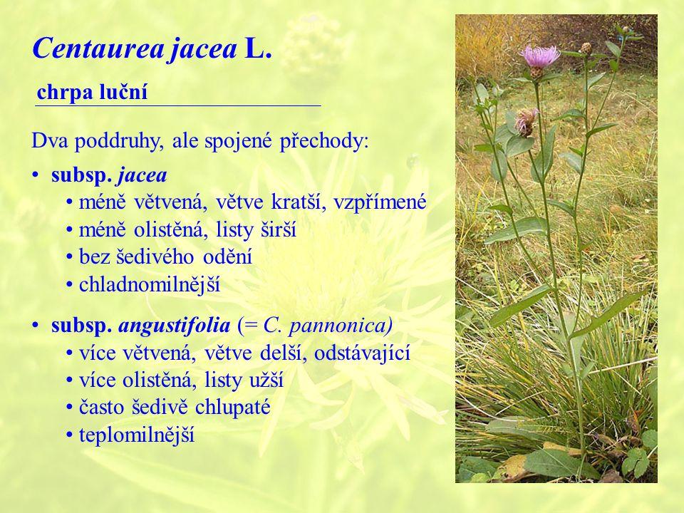 Centaurea jacea L.chrpa luční Dva poddruhy, ale spojené přechody: subsp.