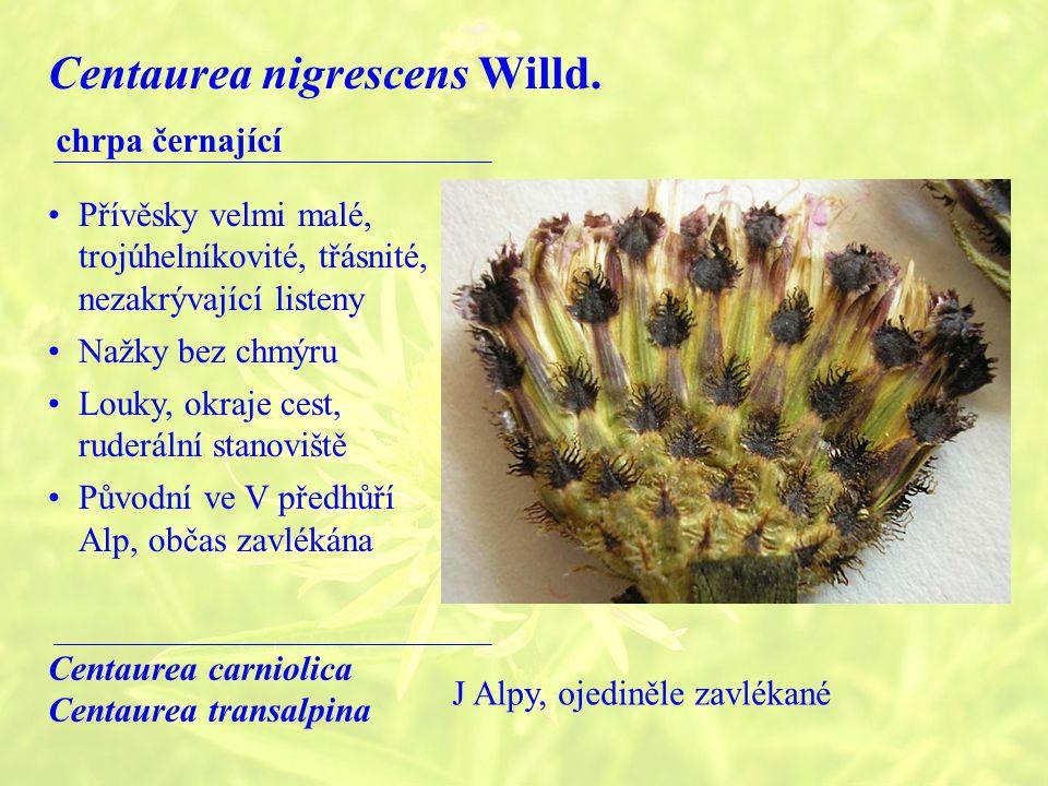 Centaurea nigrescens Willd.