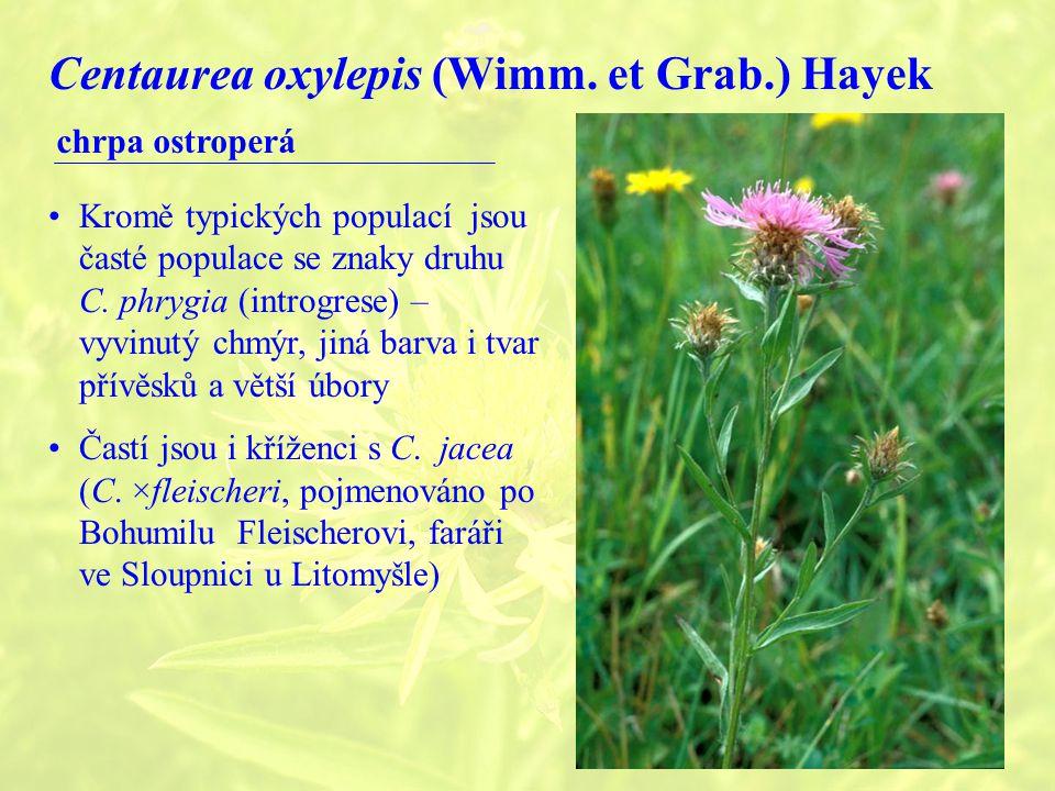 Centaurea oxylepis (Wimm.