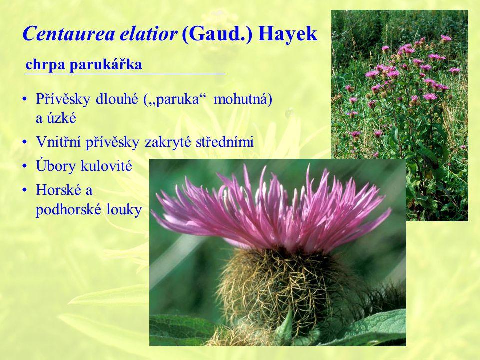 """Centaurea elatior (Gaud.) Hayek chrpa parukářka Přívěsky dlouhé (""""paruka mohutná) a úzké Vnitřní přívěsky zakryté středními Úbory kulovité Horské a podhorské louky"""