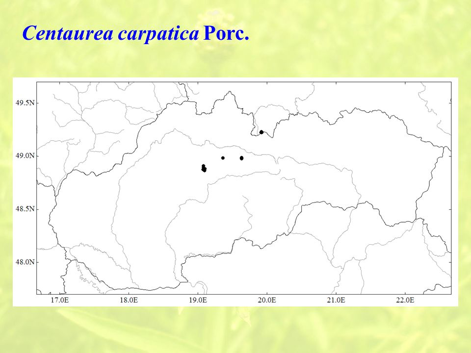Centaurea carpatica Porc.