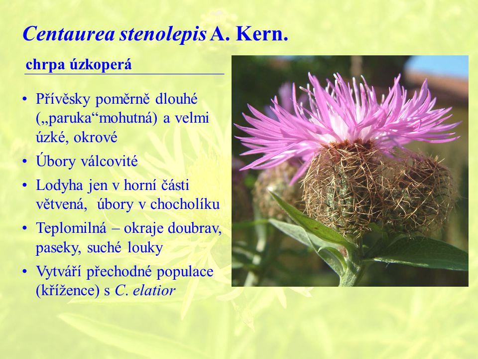 Centaurea stenolepis A.Kern.