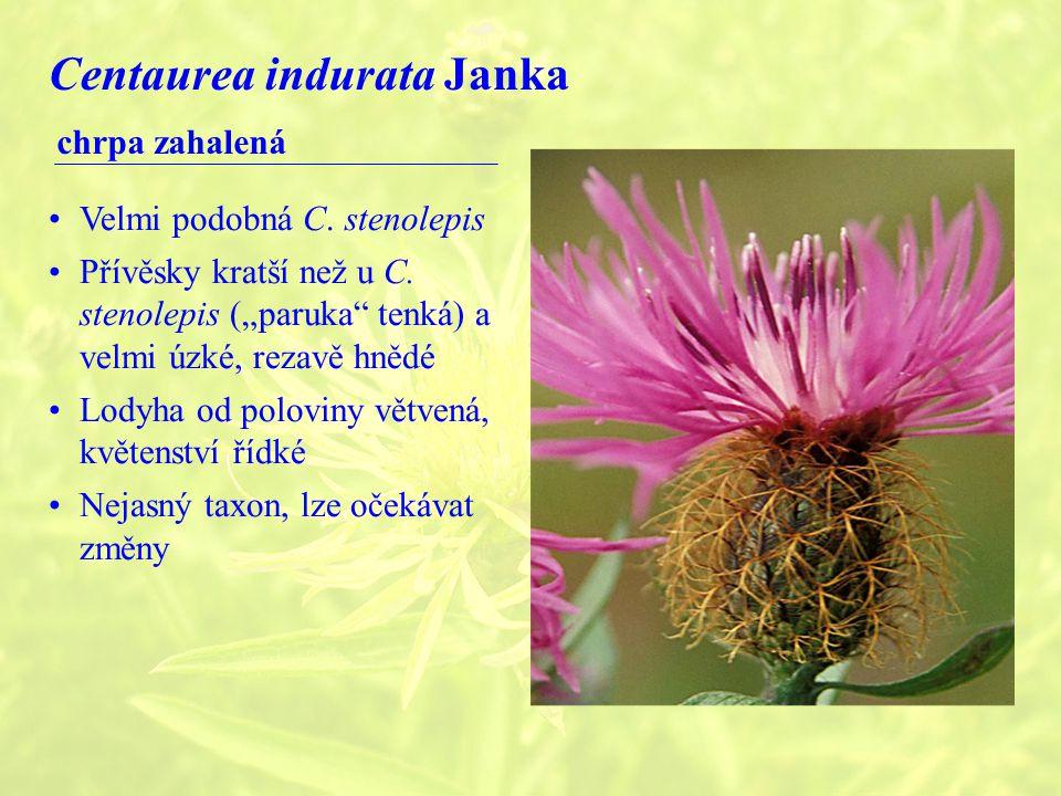 Centaurea indurata Janka chrpa zahalená Velmi podobná C.