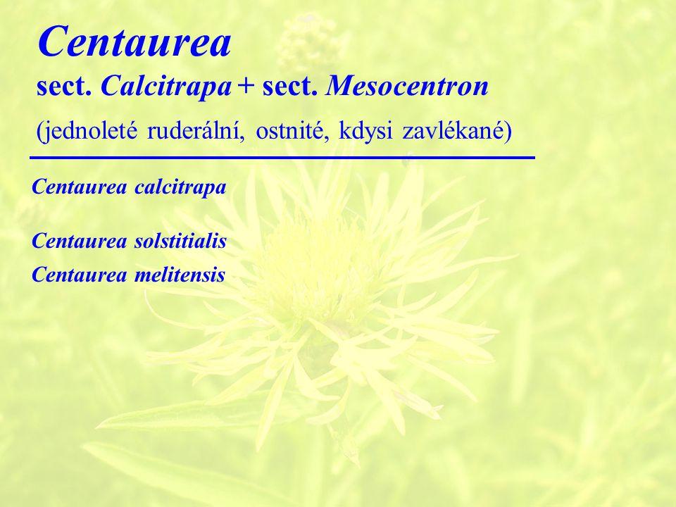 Centaurea sect.Calcitrapa + sect.