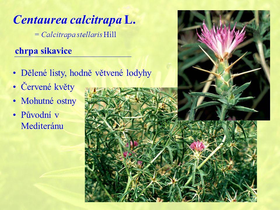 Centaurea calcitrapa L.